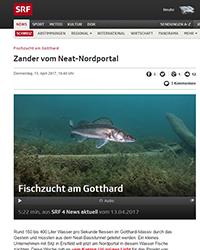Zander-Fischzucht am Gotthard